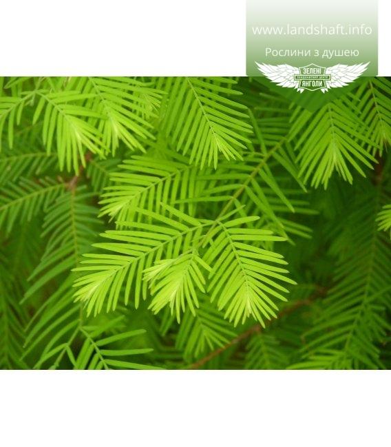 Metasequoia glyptostroboides Метасеквойя китайская