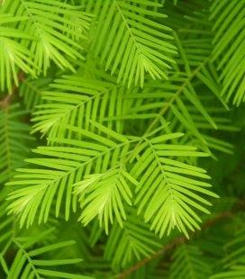 Metasequoia glyptostroboides Метасеквойя китайська