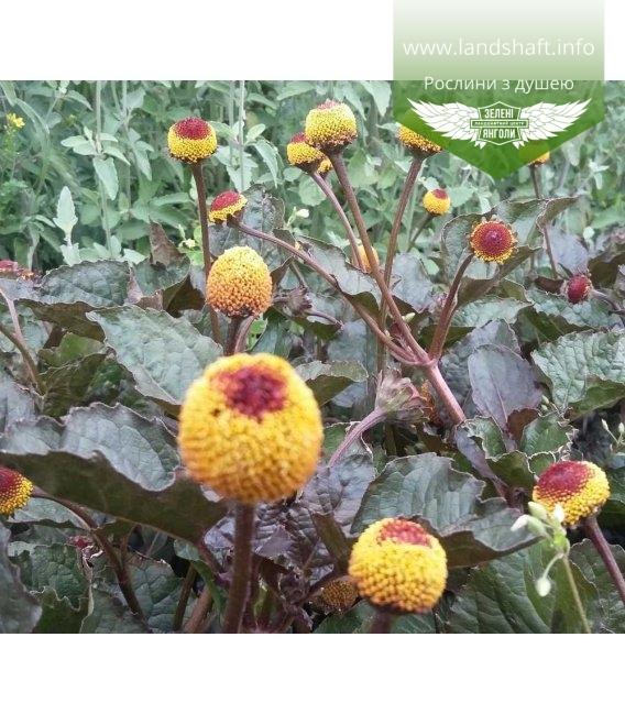 Acmella oleracea f.purpurea, Акмелла городня 'Пурпуреа'