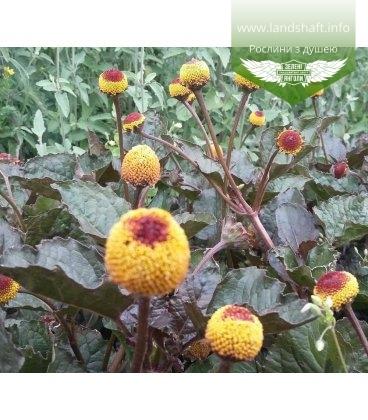Acmella oleracea 'Purpurea' Акмелла огородная 'Пурпуреа'