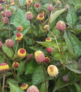 Acmella oleracea 'Dark Leaf' Акмелла городня 'Дарк Ліф'