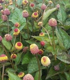 Acmella oleracea 'Dark Leaf', Акмелла огородная 'Дарк Лиф'