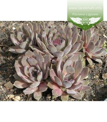 Sempervivum tectorum 'Julia' Молодило кровельное 'Юлия'