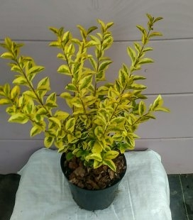 Ligustrum ovalifolium 'Aureum', Бирючина овальнолиста 'Ауреум'