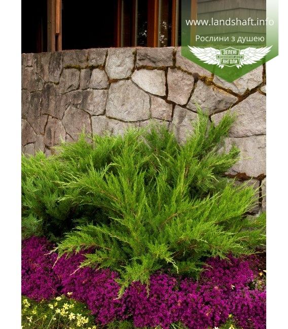 Juniperus x media 'Mint Julep', Ялівець середній 'Мінт Джуліп'
