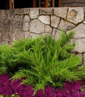 Juniperus x media 'Mint Julep', Можжевельник средний 'Минт Джулеп'