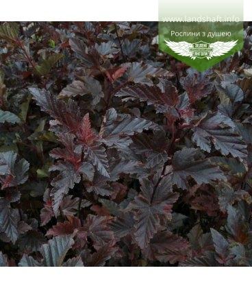 Physocarpus opulifolius 'Red Baron' Пузыреплодник калинолистный 'Рэд Барон'