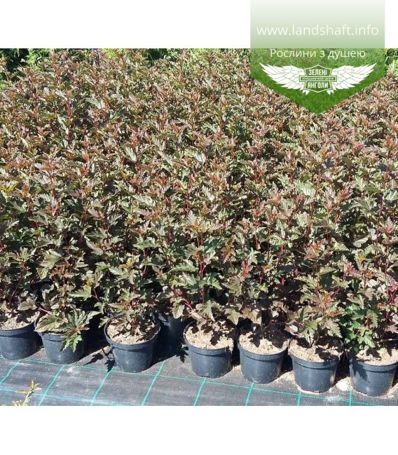 Physocarpus opulifolius 'Red Baron', Пухироплідник калинолистий 'Ред Барон'