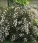 Physocarpus opulifolius 'Summer Wine', Пузыреплодник калинолистный 'Саммэр Вайн'