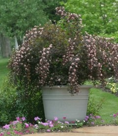 Physocarpus opulifolius 'Summer Wine', Пухироплідник калинолистий 'Самер Вайн'