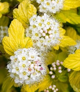 Physocarpus opulifolius 'Angel Gold/Minange', Пухироплідник калинолистий 'Ейнджел Голд'