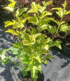 Physocarpus opulifolius 'Angel Gold', Пухироплідник калинолистий 'Ейнджел Голд'