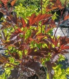 Physocarpus opulifolius 'Summer Wine' Пузыреплодник калинолистный 'Самэр Вайн'