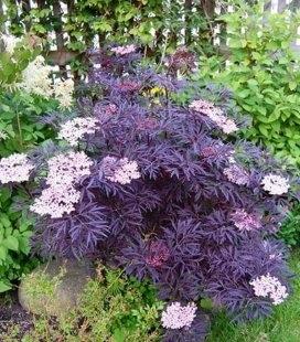 Sambucus nigra 'Black Lace', Бузина черная 'Блэк Лейс'