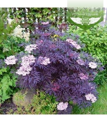 Sambucus nigra 'Black Lace', Бузина чорна 'Блек Лейс'