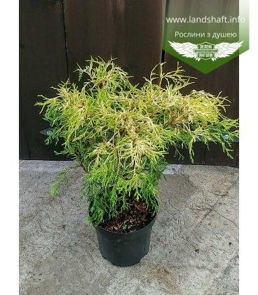 Chamaecyparis pisifera 'Filifera Aurea Nana' Кипарисовик горохоплідний