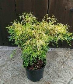 Chamaecyparis pisifera 'Filifera Aurea Nana', Кипарисовик горохоплідний 'Філіфера Ауреа Нана'