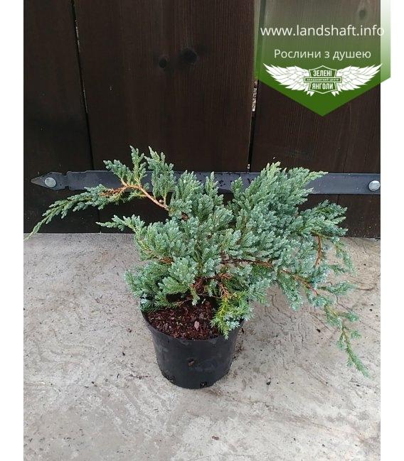 Juniperus Squamata 'Blue Carpet' Можжевельник чешуйчатый