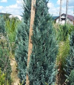 Chamaecyparis lawsoniana 'Blom', Кипарисовик Лавсона 'Блом'