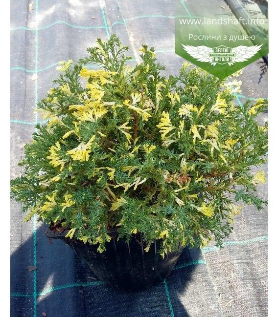 Chamaecyparis obtusa 'Saffron Spray' Кипарисовик туполистный