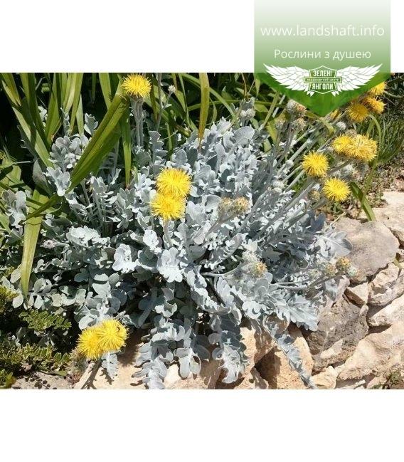 Centaurea cineraria 'Candidissima, ' Волошка 'Кандідісіма'