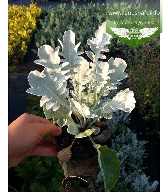 Centaurea candidissima Василек 'Кандидиссима'