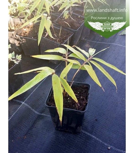 Phyllostachys pubescens, Бамбук велетенський