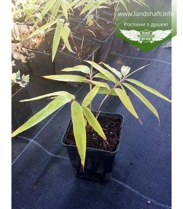 Phyllostachys pubescens Бамбук гигантский