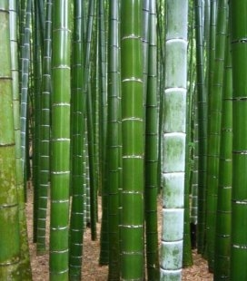 Phyllostachys pubescens Бамбук гигантский