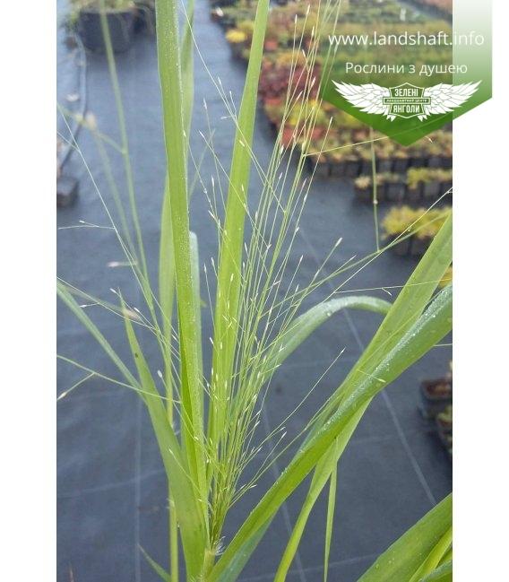 Eragrostis spectabilis Полевичка видная