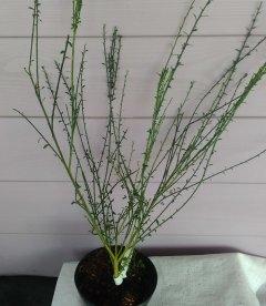 Cytisus x scoparius 'Lena', Ракитник венечный 'Лена'