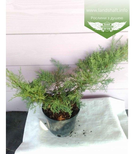 Juniperus virginiana 'Grey Owl' Можжевельник виргинский