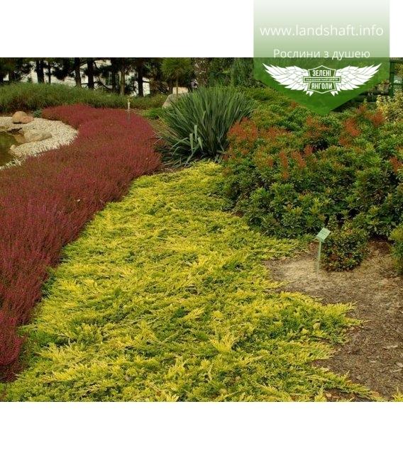 Juniperus horizontalis 'Golden Carpet' Можжевельник горизонтальный 'Голден Карпет'