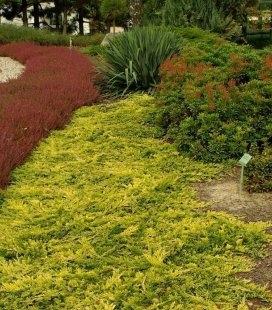 Juniperus horizontalis 'Golden Carpet', Можжевельник горизонтальный 'Голден Карпет'