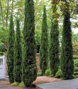 Cupressus sempervirens 'Stricta' Кипарис вічнозелений 'Стрікта'
