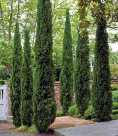 Cupressus sempervirens 'Stricta', Кипарис вечнозеленый 'Стрикта'