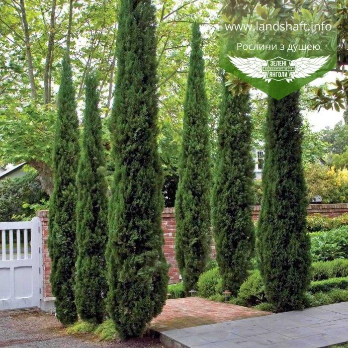 Кипарис вечнозеленый Аполлон, семена