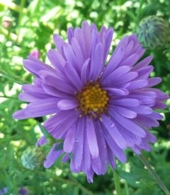 Aster dumosus lilac-blue Астра кустарниковая сиренево-синяя