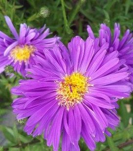 Aster dumosus viol., Айстра кущова фіолет.