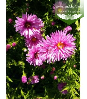 Aster dumosus pink, Айстра кущова рожева