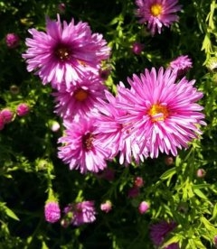 Aster dumosus pink, Астра кустарниковая розовая