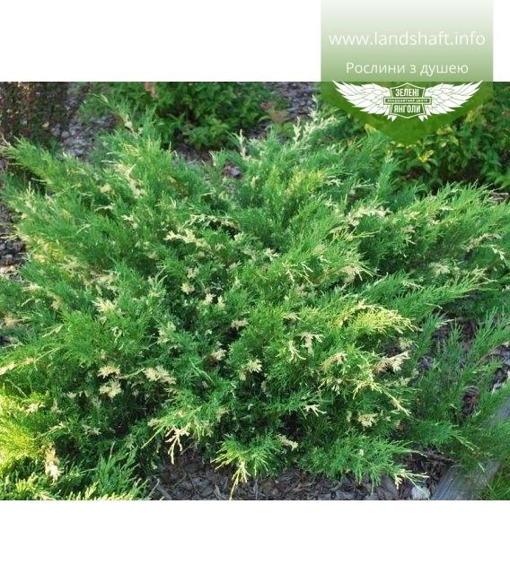Juniperus horizontalis 'Andorra Variegata' Можжевельник горизонтальный