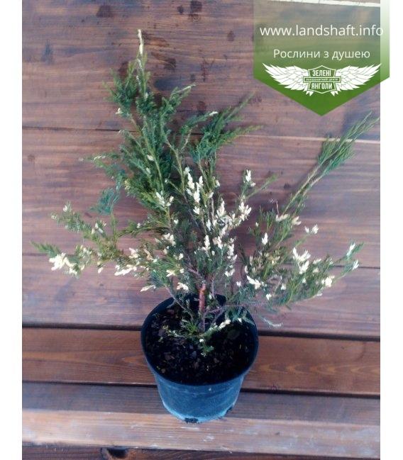 Juniperus horizontalis 'Andorra Variegata', Ялівець повзучий 'Андорра Варієгата'