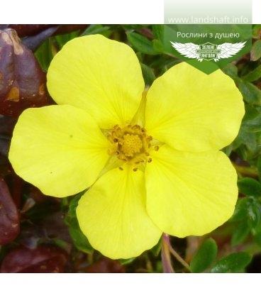 Potentilla fruticosa 'Elizabeth', Лапчатка кущова 'Елізабет'
