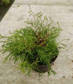 Chamaecyparis obtusa 'Tsatsumi' Кипарисовик туполистний 'Цацумі'