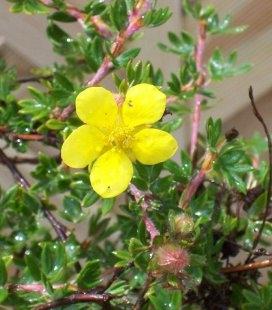 Potentilla fruticosa 'Elizabeth' Лапчатка кущова 'Елізабет'