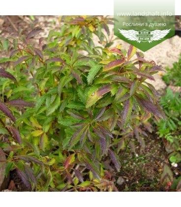 Forsythia x intermedia 'Maluch' Форзиция средняя 'Малыш'