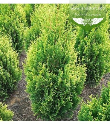 Thuja occidentalis 'Kornik' Туя західна