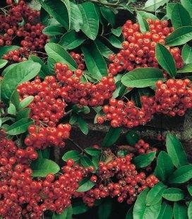 Pyracantha coccinea 'Mohave', Пираканта ярко-красная 'Мохави'