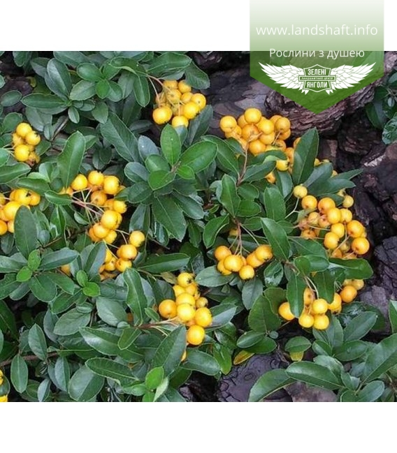 Pyracantha coccinea 'Golden Charmer', Піраканта яскраво-червона 'Голден Чармер'